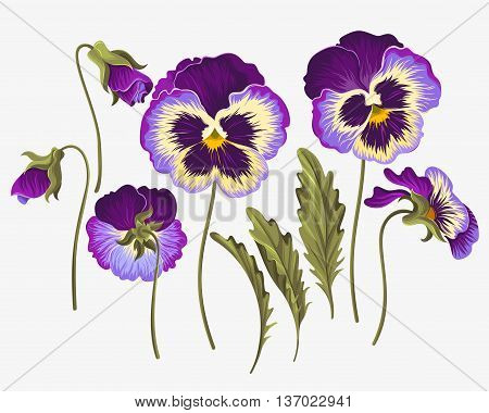 Vector set of pansy flowers, buds and leaves