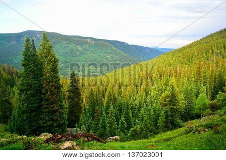 Pine Fir Tree Forest In The Mountains