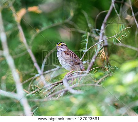 Crisp facial markings make the White-throated Sparrow an attractive bird and its distinct song. These birds frequent the boreal forests of Quebec Canada in the summer where they nest.