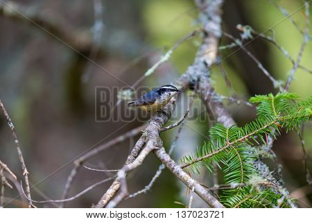 Red Bellied Nuthatch deep in a boreal forest in north Quebec Canada. These birds busily search the trees for insects and grubs and are also regular visitors to bird feeders.