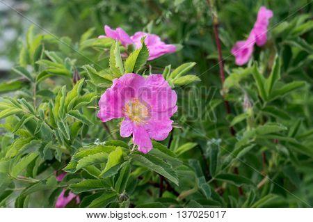 Rosehip flower on green bush background. Summer theme
