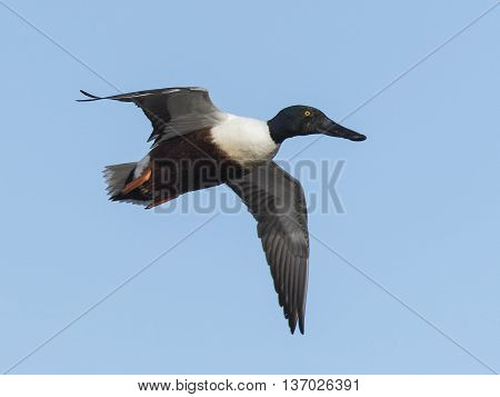 A flying Drake Shoveler on a clear day in South Dakota,
