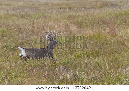 A Whitetail Deer running across the prairie in North Dakota
