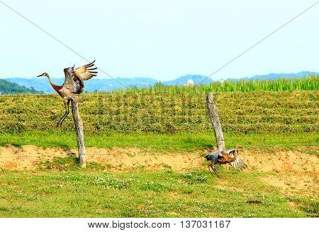 sand hill crane Wisconsin flying wildlife farmland