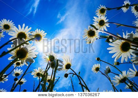 Daisies on a background of blue sky with bright sunshine.