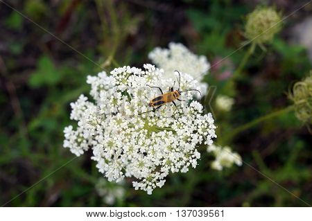 A goldenrod soldier beetle (Chauliognathus pensylvanicus) climbs on the flower of a Queen Anne's Lace (Daucus Carota), also called the wild carrot, in Shorewood, Illinois during the summer.