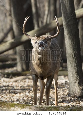 A rutting Whitetailed Buck in the early winter