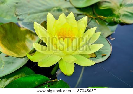 Yellow Waterlily with green lily pads in porn