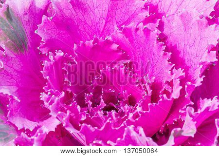 Close Up Fresh Violet Cabbage (brassica Oleracea) Plant Leaves