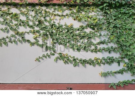 Green creeper plant on the concrete wall