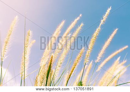 Feather Grass In Nature