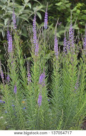 Purple Toadflax - Linaria purpurea Tall Purple Flower