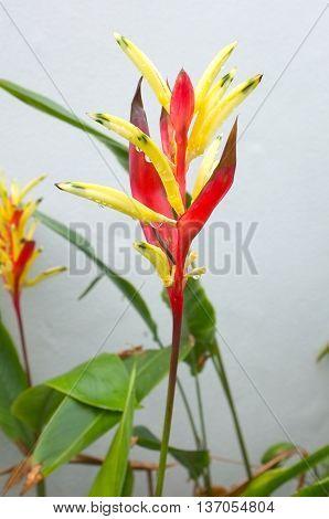 Bird of paradise flower in red color, Strelitzia plant