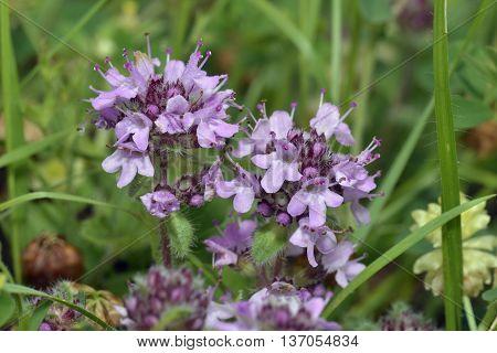 Wild Thyme - Thymus polytrichus Two Flower Heads