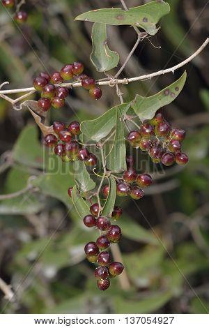 Common Smilax or Rough Bindweed - Smilax aspera Red Berries