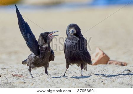 Crow in something convinces another crow on the beach a summer day