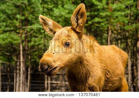 Cute small baby moose in the forest.