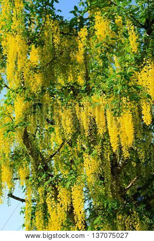 Yellow Acacia tree in bloom with blue sky.
