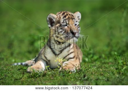 adorable amur tiger cub posing outdoors in summer