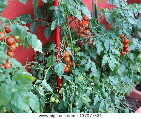 Plants Of Red Tomatoes In The Garden Urban
