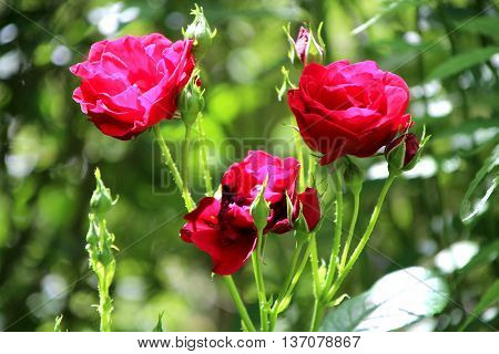 view of beautiful roses in my garden