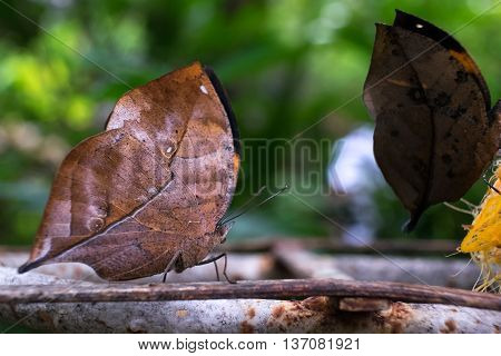 With wings closed, the leafwing butterfly bears a remarkable resemblance to a dead leaf. leaf butterfly (Kallima inachus)