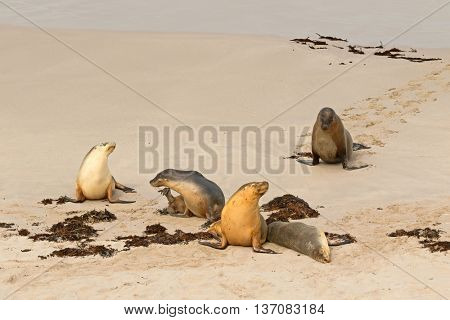 A group of Australian Sea Lions sunbathing on sand after swimming at Seal Bay, Sea lion colony on south coast of Kangaroo Island, South Australia