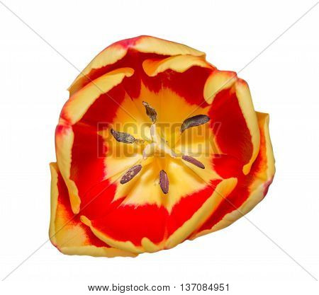 Close-up Tulip Macro Of Anthers With Pollen Grains Isolated On White