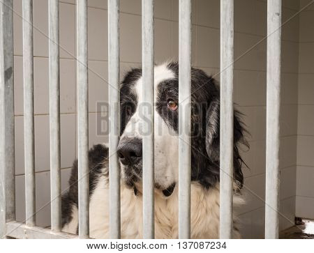 Pyrenean Mastiff Dog Enclosed