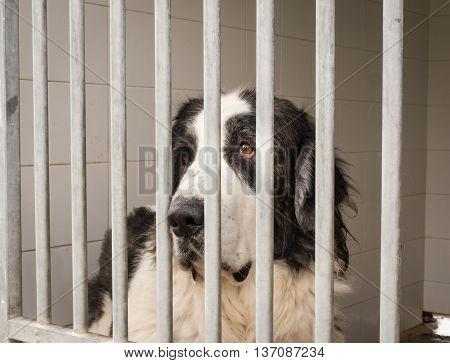 Pyrenean Mastiff Dog Enclosed