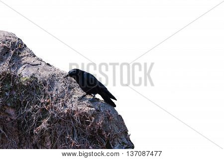 Crow On The Wall Isolated On White Background.