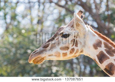 Beautiful Giraffe Close Up, Giraffe In Forest.