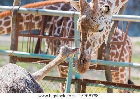 Ostrich Talking Something To Giraffe. Cute Animal.