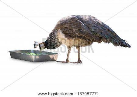 Common Peafowl Male Eating Food Isolated On White.