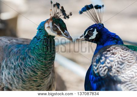 Portrait Of Two Blue Peacock In Love.