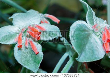 Rechsteineria (Sinningia leucotricha Rechsteineria leucotricha) flower in forest