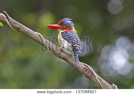 Banded Kingfisher Lacedo pulchella Male Birds of Thailand