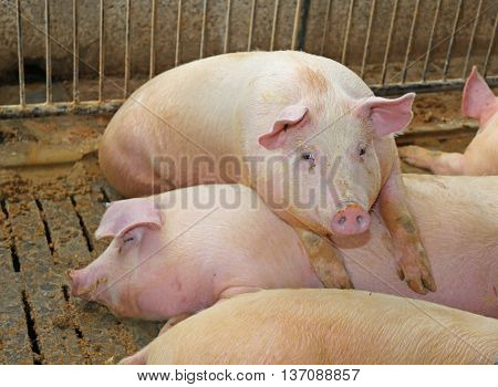 Fat Pig Leaning Over The Back Of Another Pig In The Breeding Of