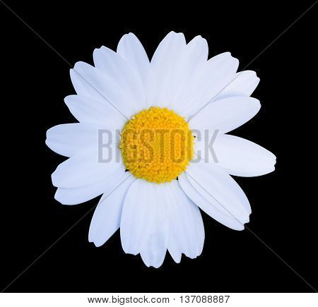 White Daisy Close-up Isolated On Black Background.