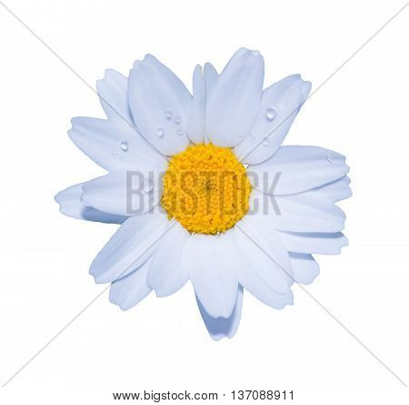 White Daisy Close-up Isolated On White Background.