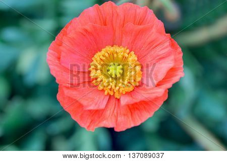 Close Up Of A Red Iceland Poppy(scientific Name Papaver Nudicaule)