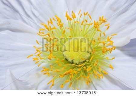 Close Up Of A White Iceland Poppy (scientific Name Papaver Nudicaule)