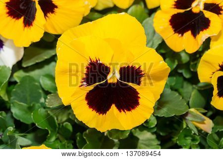 Viola Black And Yellow Pansy Flower In Garden