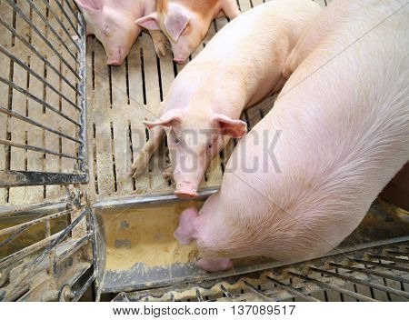Fat Pigs And Sows Eat In Livestock Of The Farm