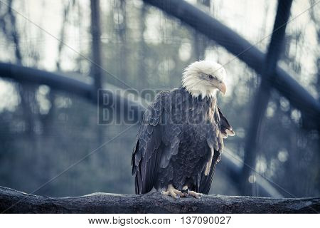 Bald Feral Eagle Perched On A Dry Branch In Forest.