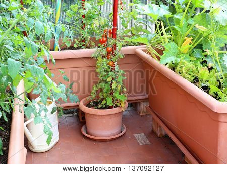 Tomatoes In A Small Urban Garden On The Terrace Apartment