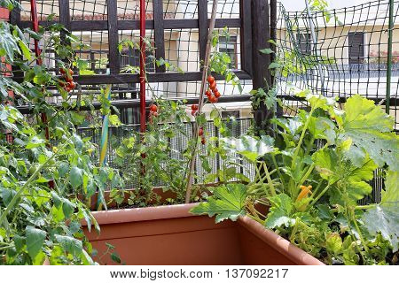 Plants Of Tomatoes And Zucchini In The Pots Of An Urban Garden I