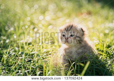 Cute American Shorthair kitten walking on green grass under sunlight