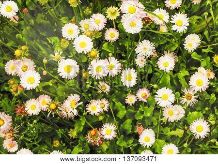 Nice bellis perennis flowers in summer garden