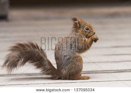 Red Squirel Standing Up